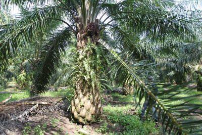 TH Plantations akan menyelesaikan penjualan aset dalam 12 bulan akan